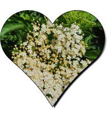 Holungerblüten Anfang Juni-1
