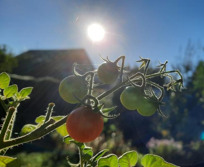 Tomaten im Oktobr-Licht